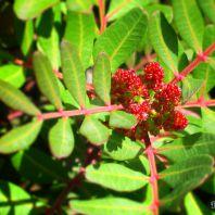 Природа острова Крит: мастиковое дерево