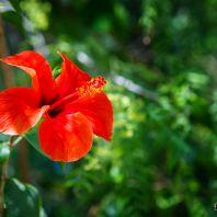 Природа острова Крит: гибискус