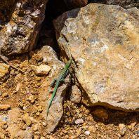 Ящерицы бегают буквально повсюду