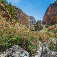 Цветущие олеандры в ущелье Арадена