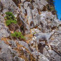 Дикие козы в Араденском ущелье