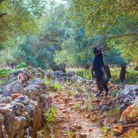Козы в деревне Арадена