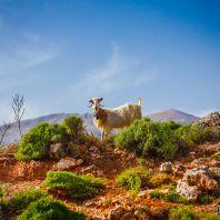 Козы в ущелье Арадена