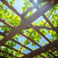 Остров Крит: виноградник