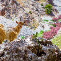 Дикие козы в ущелье Арадена