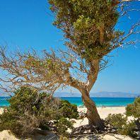Ливанский кедр, остров Хриси
