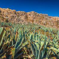 Агава на острове Грамвуса, Крит