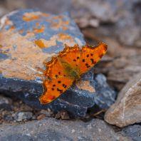 Бабочка в ущелье Курталиотико